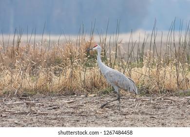 a sandhill crane walks across a plowed field of corn.