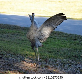 Sandhill Crane With Wings Spread