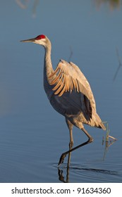 Sandhill crane with wings stretched wide