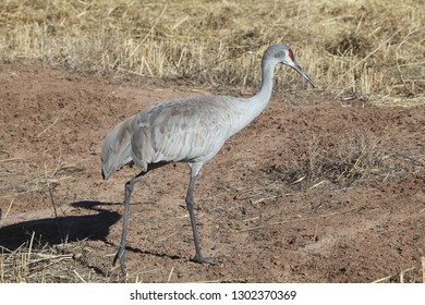 Sandhill cranes, an endangered bird species, glean a field in designated open spaces in Albuquerque, New Mexico, in the wintertime.
