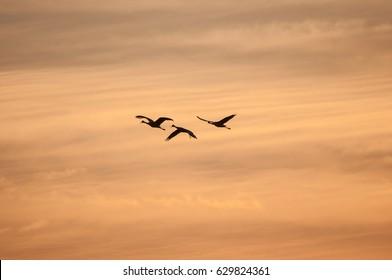 Sandhill Cranes in Flight against Florida Sunset