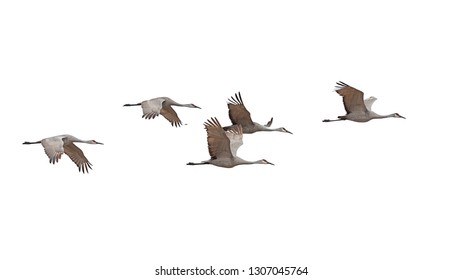 Sandhill cranes fly across in skein formation a white background