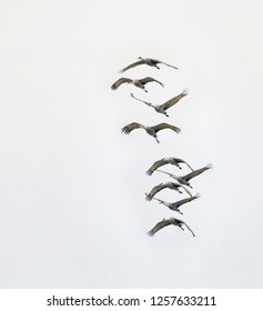Sandhill cranes fly one over while migrating through Indiana.