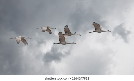Sandhill cranes fly in a skein formation across a storm cloud filled sky.