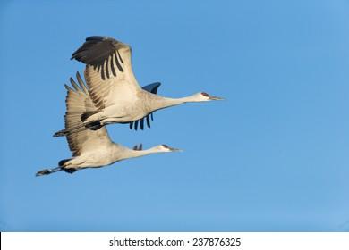 Sandhill cranes flying against blue skyat Bosque del Apache National Wildlife Refuge in San Antonio New Mexico