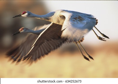 Sandhill cranes flying with blue sky and mountains