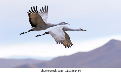 Sandhill cranes  flying at Bosque del Apache national wildlife refuge in New Mexico.
