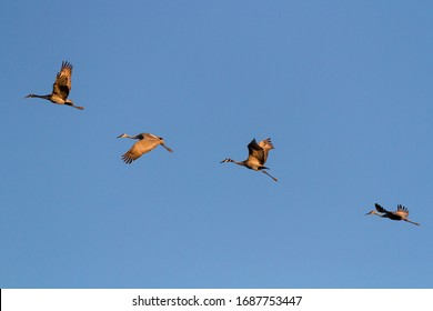 Sandhill cranes flying in the evening light.