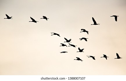 Sandhill Cranes flying into the roost at Rowe Audubon Center, Nebraska