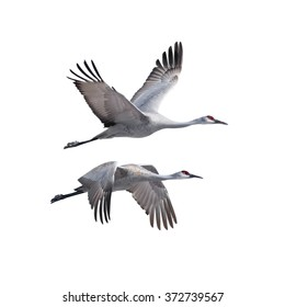 Sandhill Cranes flying, isolated on white.