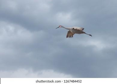 Sandhill cranes glides across a storm cloud filled sky.