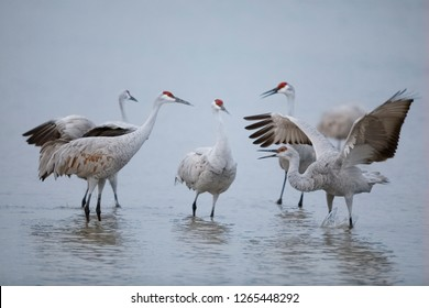 Sandhill Cranes (Grus canadensis) displaying and dancing at dawn - Bosque del Apache National Wildlife Refuge, New Mexico