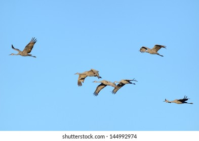Sandhill Cranes (Grus canadensis) in Flight Against a Blue Sky