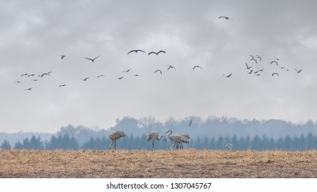 Sandhill cranes migrate overhead while several on the ground eat the remains of a recently plowed field.