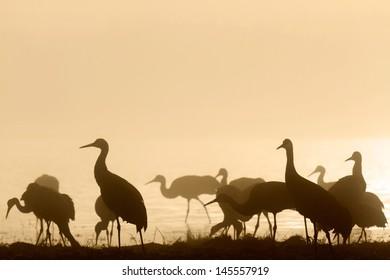 Sandhill cranes in morning mist, Bosque del Apache National Wildlife Refuge, NM
