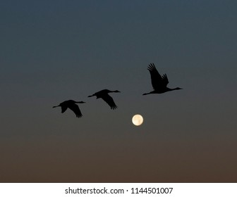 Sandhill Cranes passing rising moon at dusk