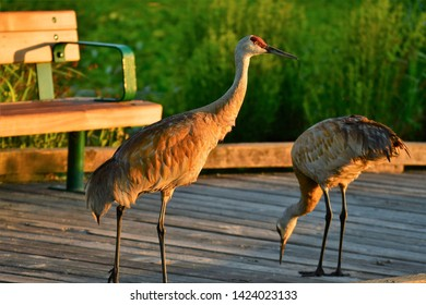 The Sandhill cranes, seeing the lack of humans nearby, board the pier and eat the leftover birdseeds. BC Canada