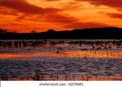 Sandhill cranes silhouette against the burning Bosque del Apache sky, New Mexico