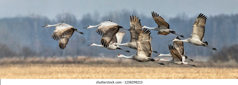 Sandhill cranes take off en masse over an Indiana cornfield in late fall.