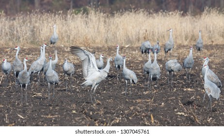 Sandhills eat from a recently plowed farm field. One crane raises and flaps its wings to protect the flock.