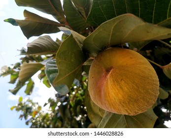 Sandoricum koetjape yellow And green leaves are tropical fruits Drought-resistant in the family (Meliaceae). Originated in the area of ​​Southeast Asia. Yellow santol fruit Can make savory food.