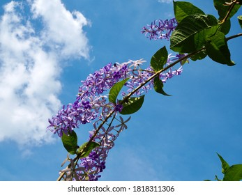 Sandpaper vine or Petrea volubilis L. Purple flowers blooming with blue sky and white clouds