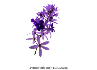 Sandpaper vine , Petrea volubilis,purple flower isolated on white background.Saved with clipping path.