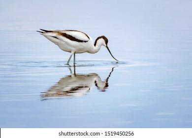 sandpiper avocet stands in lake water