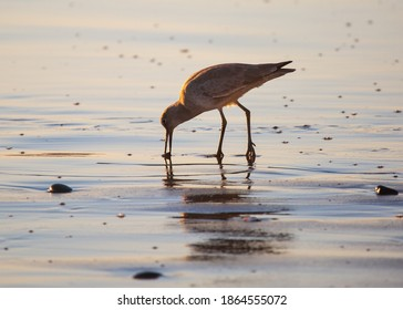 A Sandpiper Eating at Sunset