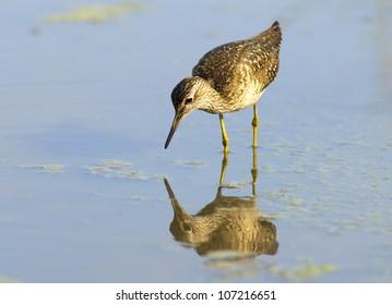 Sandpiper - european water bird