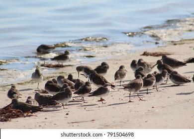 Sandpiper flock of shore birds standing  along the shoreline