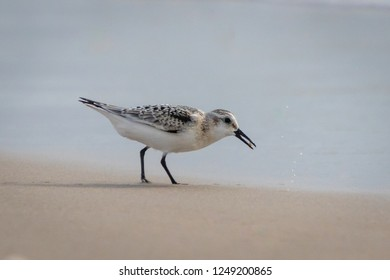 Sandpiper Foraging For Food in The Sand At The Ocean's Edge