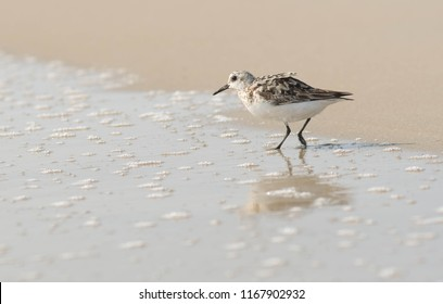 A sandpiper on the beach at the Outer Banks, North Carolina, USA