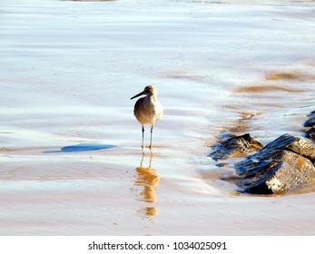 Sandpiper on beach on Pacific Ocean shore