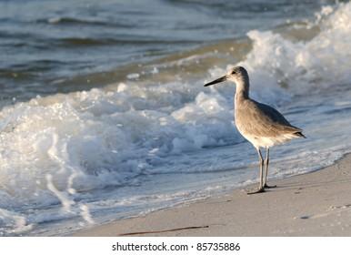A Sandpiper on the Gulf Coast.