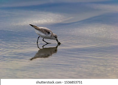 a sandpiper probing in the wet sand with its beak for invertebrates sand with its beak for invertebrates