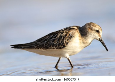 Sandpiper wading in shallow water