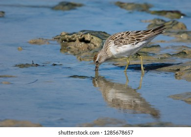 Sandpiper wading the tidal flats and feeding, Sharp-Tailed Sandpiper, South Australia, Australia.