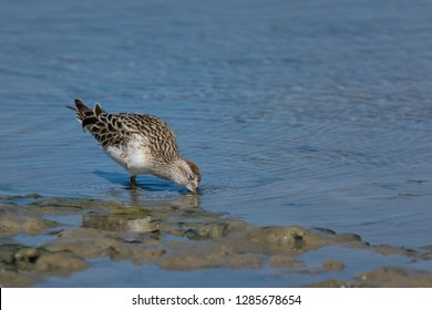 Sandpiper wading the tidal flats, head down and feeding, Sharp-Tailed Sandpiper, South Australia, Australia.