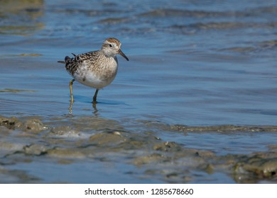 Sandpiper wading the tidal flats, small alert bird, room for text. Sharp-Tailed Sandpiper, South Australia, Australia.