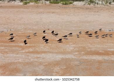 Sandpipers on the beach, Ormond Beach, Florida