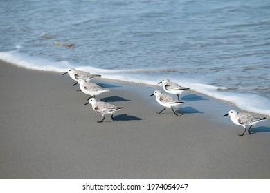 Sandpipers running on beach near water. Birds running on the beach. Side light