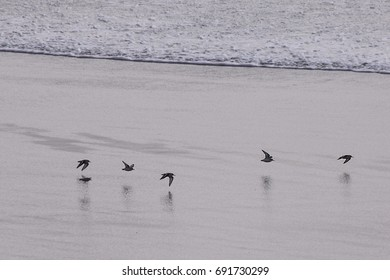 Sandpipers skimming the edge of the incoming tide