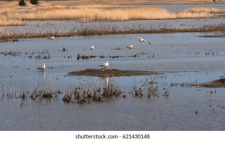 Sandpipers standing in the waters of the coastal salt marshes
