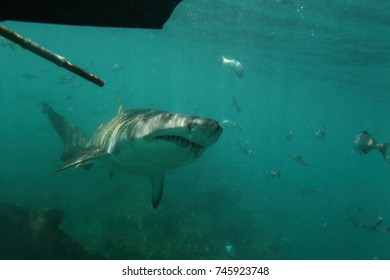 sandtiger shark or grey nurse shark or spotted ragged-tooth shark, Carcharias taurus, Cape Infanta, South Africa, Indian Ocean. The pole is used to prevent the shark from getting too close to divers.