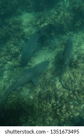 sandtiger sharks or grey nurse sharks or spotted ragged-tooth sharks, Carcharias taurus, Cape Infanta, South Africa, Indian Ocean