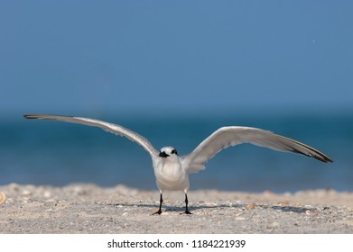 A sandwich tern (Thalasseus sandvicensis) with non-breeding plumage prepares to take flight from the beach in Florida.