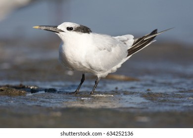 Sandwich Tern, Thalasseus sandvicensis, on tan sandy beach looking to side
