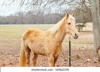A sandy blonde horse comes to say hello over its fence in winter.