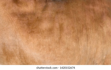 Sandy or light brown hair cow skin - real genuine natural fur, free space for text. Cowhide close up. Texture of a brown cow coat. Fur background.